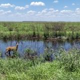Ciervo de los pantanos